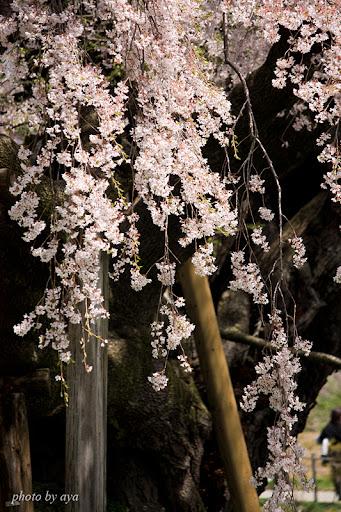 三春滝桜 2
