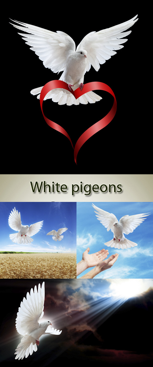 Stock Photo: A free flying white dove isolated on a black