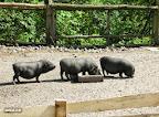 Vietnamo kiaulės