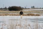 hvis isen holder til Knud, så holder den nok også til hundene..... :-)