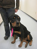 Charlotte - Charlotte was surrendered as a skeleton. She doubled her weight in one month