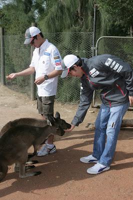 Серхио Перес кормит кенгуру в мельбурнском зоопарке перед Гран-при Австралии 2012