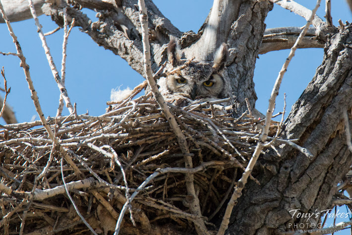 A Great Horned Owl on a nest in Thornton, Colorado.  (© Tony's Takes)