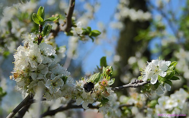 Apple tree flowers and bumblebee