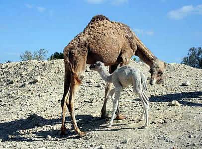 Camello hembra con su cría