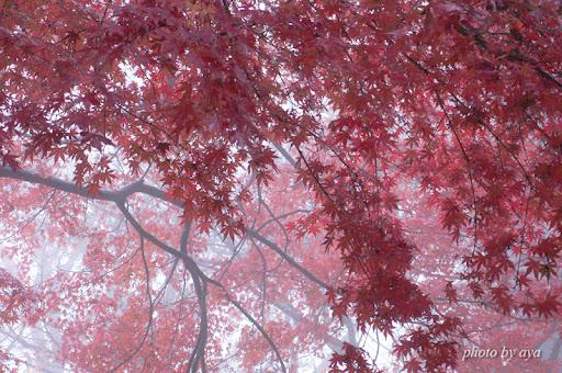 霧に包まれた紅葉