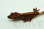 Dark partial pinstripe crested gecko (Abraxas x Abernathy) from moonvalleyreptiles.com