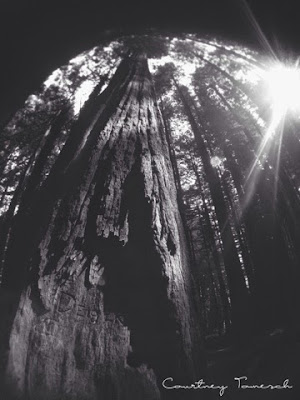 Redwood Trees Redcrest California