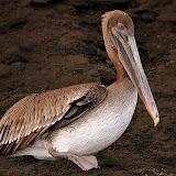 Pelican - Punta Egas, Galapagos