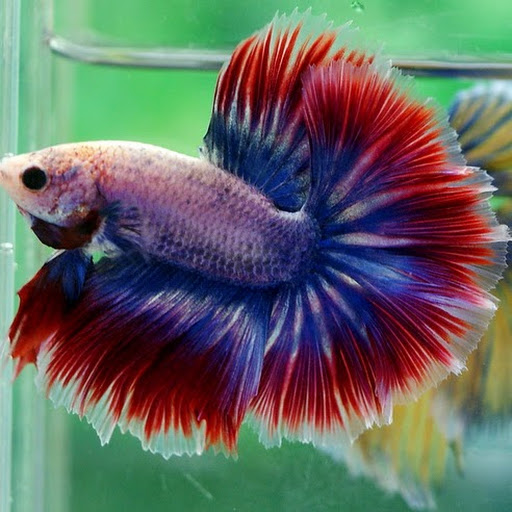 All about betta fish wild type betta macrostoma for What kind of fish can live with a betta
