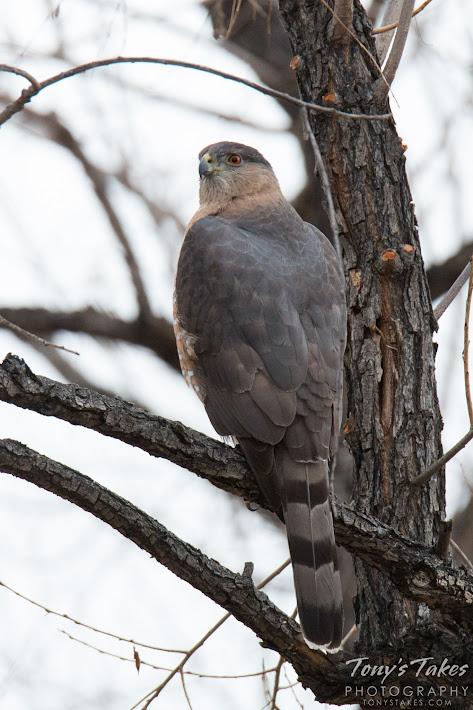 An adult Cooper's Hawk keeps close watch in Thornton, Colorado. (© Tony's Takes)