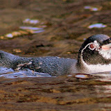 In the Water, Penguins Can Travel Up to 22 MPH... I'm Slow...