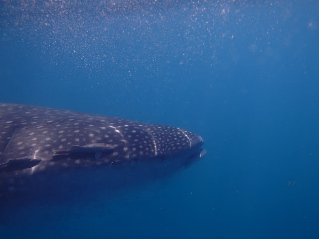 Eye to eye with a whale shark.