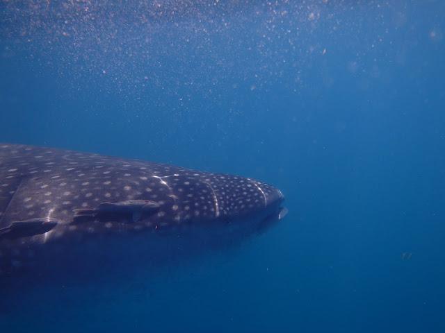 Eye to eye with a whale shark.