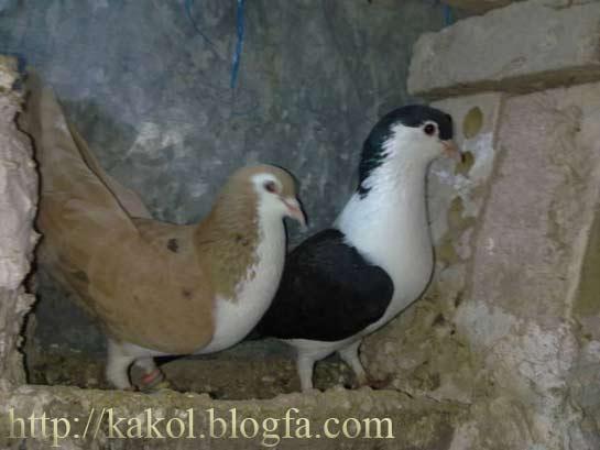 کبوتر سبز عکس کبوتر کله دم سبز   گالری عکس ویژه ترین   Vizhetarin ...