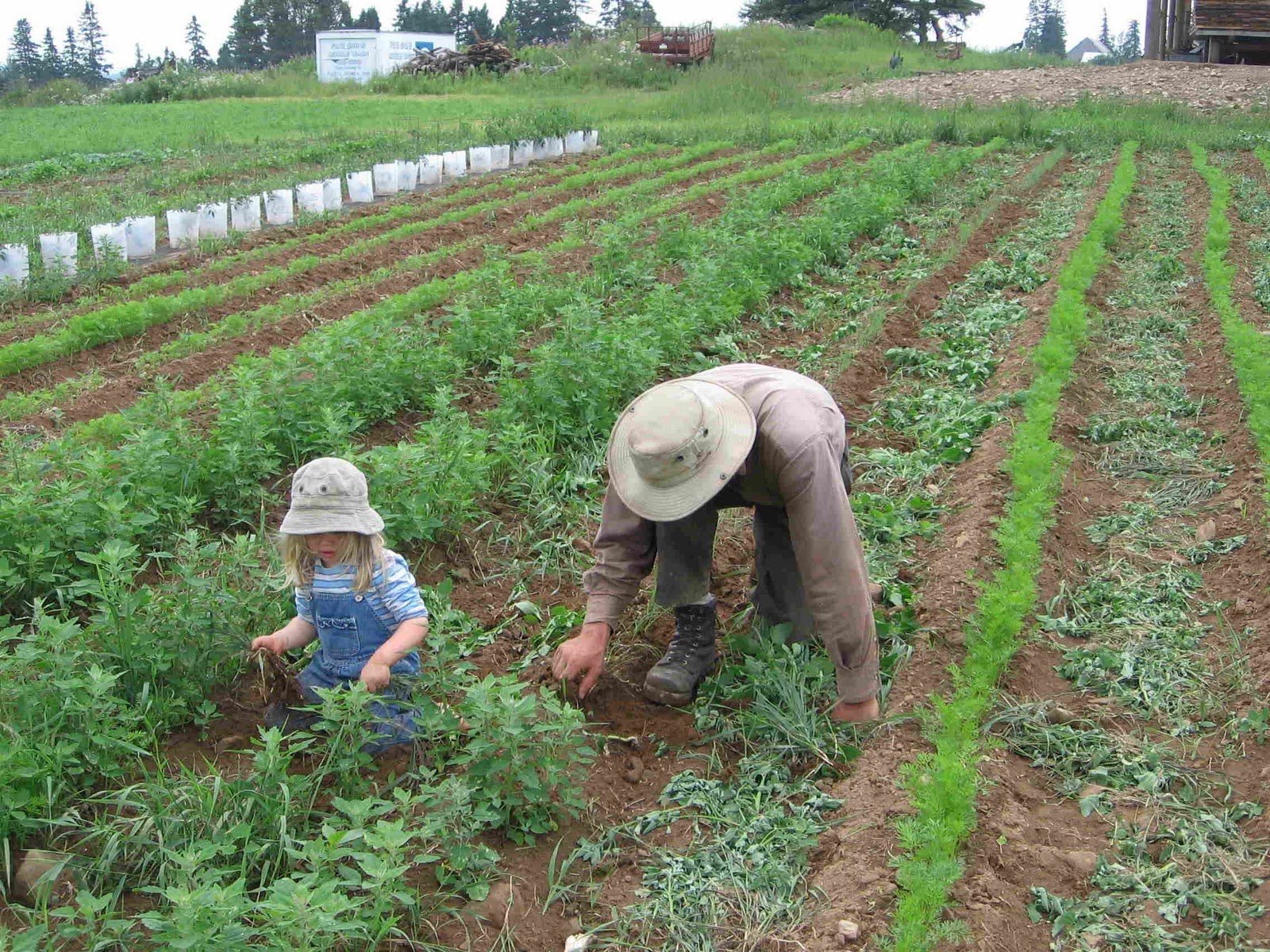 Выращивание моркови как бизнес: организация и план - бизнес идеи 63