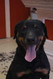 Julie was one of 7 rotties chained in an abandoned house and kept for breeding