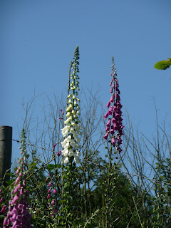 White and Purple Foxgloves