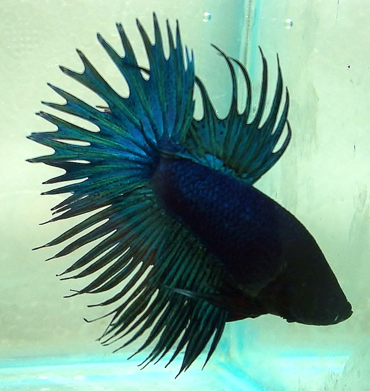 Red and blue crowntail betta