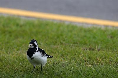 птичка на трассе Альберт-Парк на Гран-при Австралии 2013