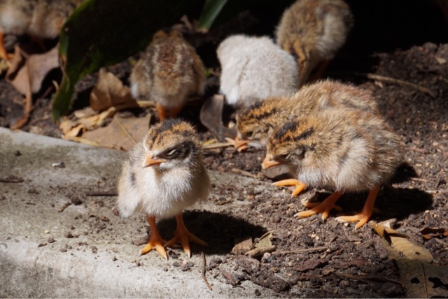taronga zoo sydney australia birds chicks baby ducks