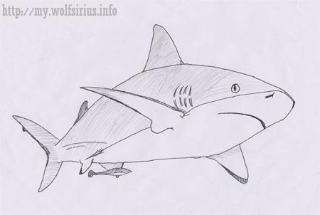 Caribbean Reef Shark Drawing