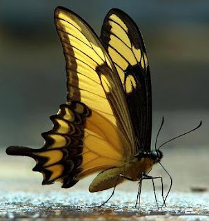 Mariposa parada en el piso de perfil