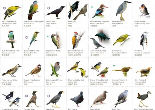 Common Garden Birds In Malaysia - Picture Taken From http://www.mygardenbirdwatch.com