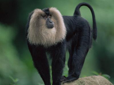 Monyet Ekor Singa