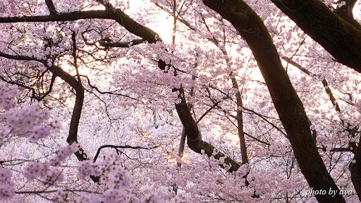 高遠城址公園の桜3