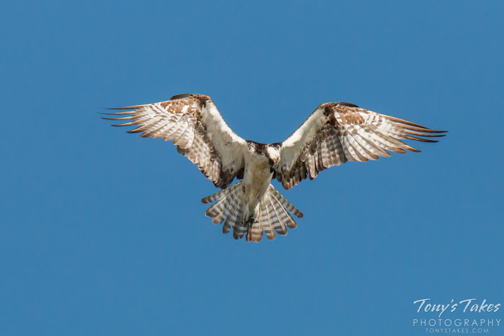 A young Osprey hovers in the air while it looks for fish below. (© Tony's Takes)