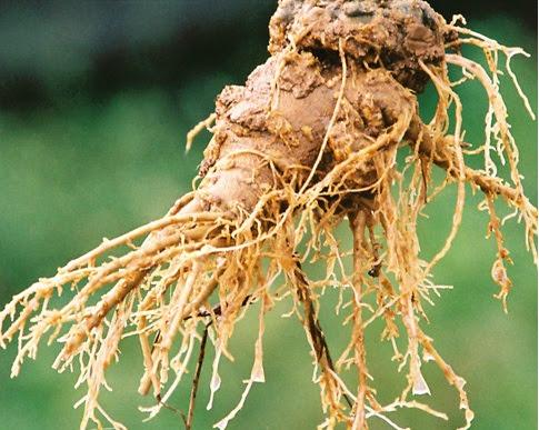 Notoginseng%2520%2528Panax%2520Notoginseng%2529 Kandungan Phytochi