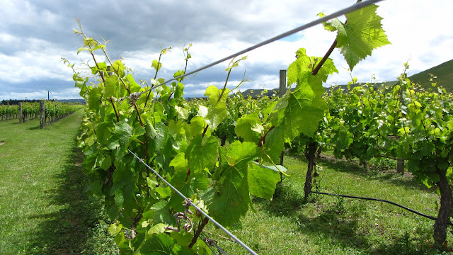 Grape vines soaking up the sunshine in Hawkes Bay.