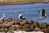 Three Pelicans in Various Stages of Flight
