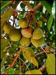 Pohon Muncang/Kemiri