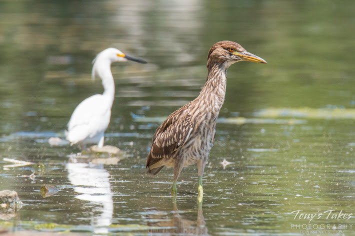 With an adult around, the young heron behaves itself. (© Tony's Takes)