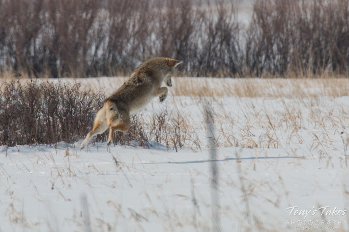 A coyote leaps into the air as it pounces on a vole beneath the snow. (© Tony's Takes)