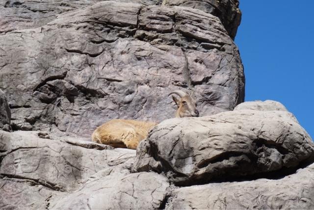 taronga zoo sydney australia giraffe mountain goat