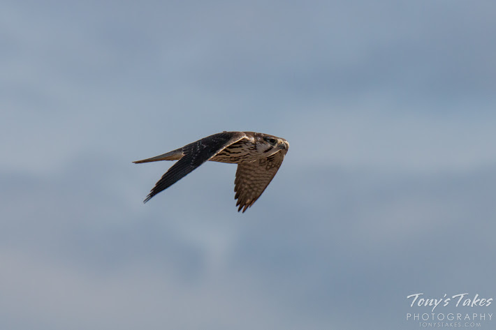 A Prairie Falcon does a high-speed flyby on the plains of Colorado. (© Tony's Takes)