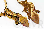 Awesome-O and Sienna - Tricolor pinstripe pairing for 2012 from http://moonvalleyreptiles.com