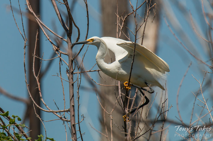 A Snowy Egret prepares to take flight at Denver City Park. (© Tony's Takes)