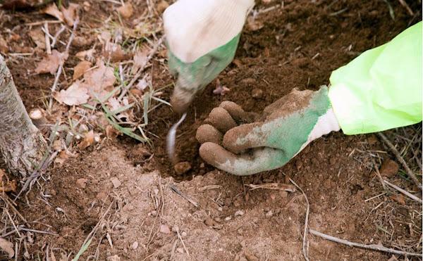 digging for truffles