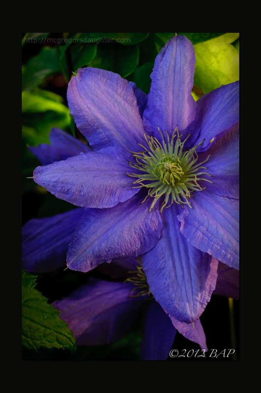 Photo of the Week: Clematis Cezanne