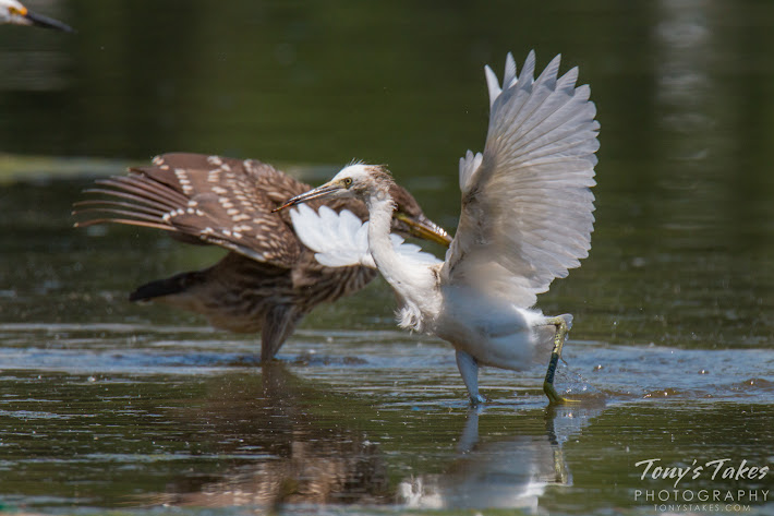 A juvenile Black-crowned Night Heron tries to ward off a young Snowy Egret.  (© Tony's Takes)