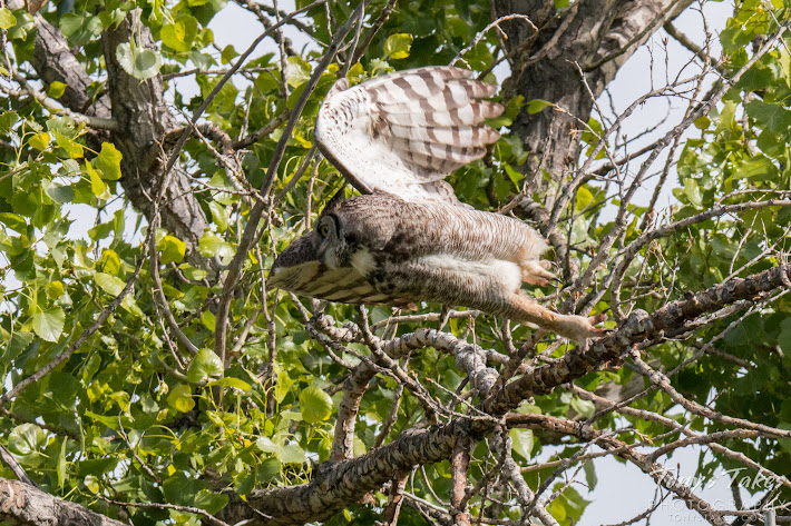 A Great Horned Owl launches itself into the air. (© Tony's Takes)