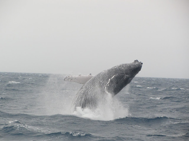 Breaching behavior may be for communication or for dislodging barnacles from the whales' bodies. Researchers are still not entirely sure why Humpbacks do this.