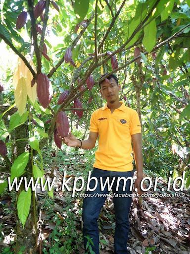 kebun kakao tutar polman sulbar