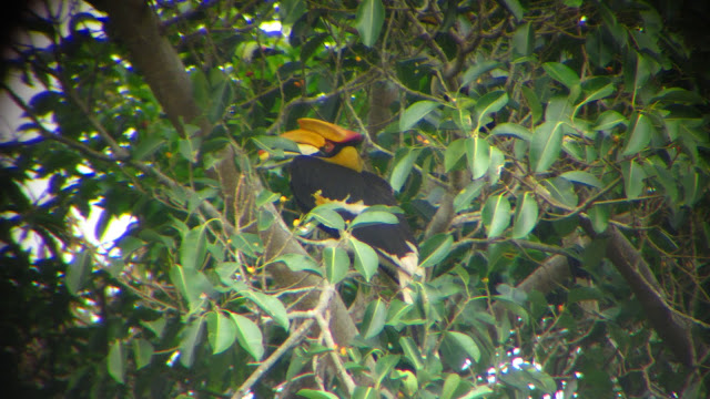A beautiful Hornbill as spotted through the scope.