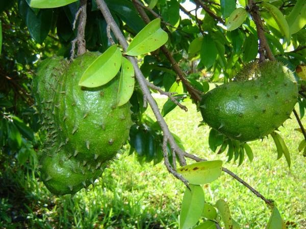 Health Tips: Guyabano, The Soursop Fruit