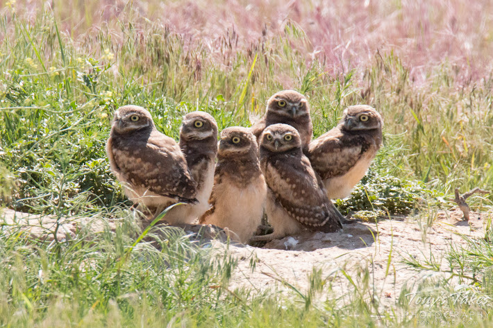 The 'kids' hang out. Six Burrowing Owl owlets gather at their home in Adams County, Colorado. (© Tony's Takes)
